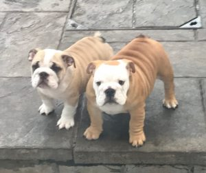 britishgold bulldog puppies