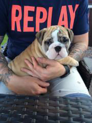 british bulldog puppy