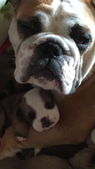 british bulldog mum & puppy