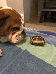 bulldog & tortoise
