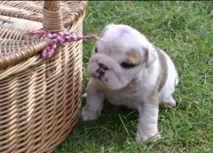 puppy bulldog picnic basket