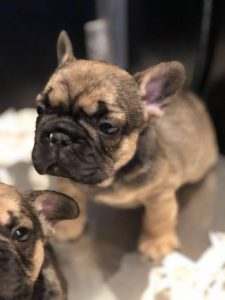 French bulldog puppy fawn black mask